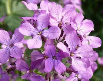 50+ Lavender Evening or Night Scented Stock Matthiola /Annual Flower Seeds