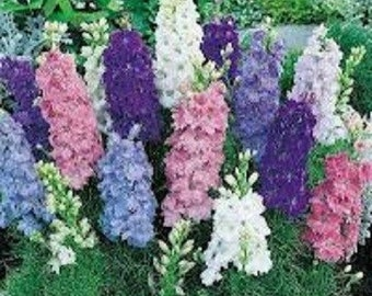 40+ Ajacis Mix Delphinium Larkspur / Dwarf / Early-Blooming Annual