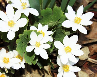 5 Bloodroot wild flower roots