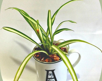 Variegated Green Spider Plant With Inital Letter White Mug, Chlorophytum Indoor Air Cleaning Plant, A Perfect Gift For Any occasion