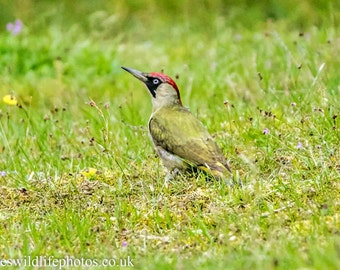 Green woodpecker photograph 7x5 inch bird wildlife picture
