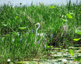 Great Egret in the swamp