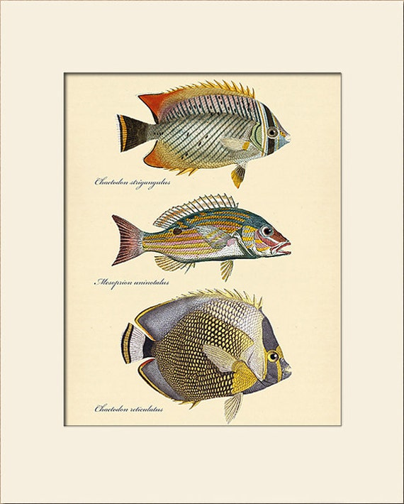 Vintage Fish Print #101, Art Print with Mat, Natural History Illustration, Beach House Wall Art, Nautical Art, Sea Life Prints, Wall Decor