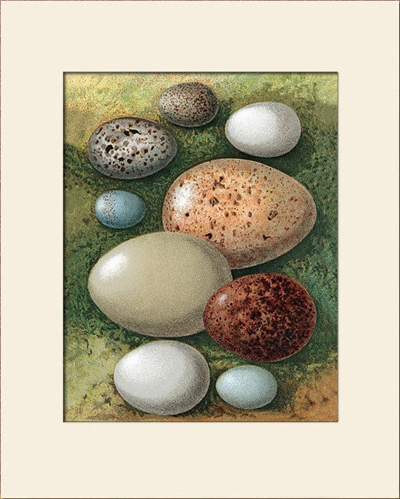 Bird Eggs Print, (Woodlark, Merlin, etc.) Thorburn, Art Print with Mat, Natural History, Wall Art, Wall Decor, Cottage Decor