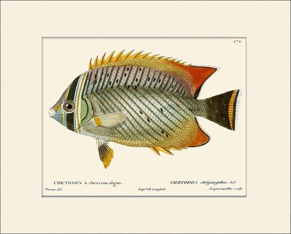 Vintage Fish Print #172, Art Print with Mat, Natural History Illustration, Beach House Wall Art, Nautical Art, Sea Life Prints, Wall Decor