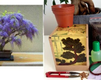 Wisteria Complete Bonsai Growing Kit- 10 Pieces -Bonsai, gift for gardener