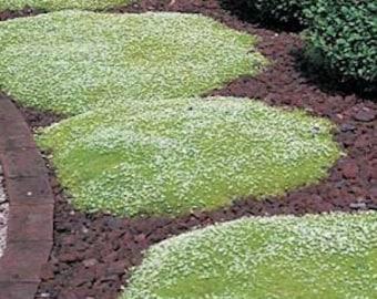 Irish Moss  200 Seeds, Sagina Sabulata