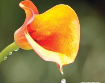 Cala Lily Photograph