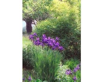 Purple Iris Flower Photography,  Garden Art,  Landscape Photography, Purple Wall Decor, Flower Wall Art
