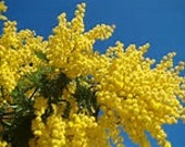 Mimosa Absolute for Natural Perfumery