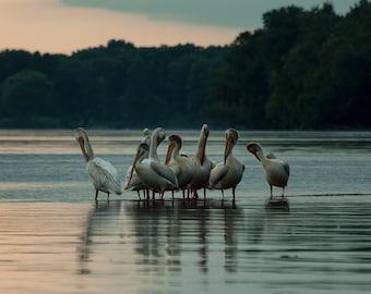Pelicans at Sunset Fine Art Photograph