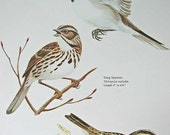PRINT SALE 20% OFF Vintage 1960's Sparrows w 3 Species Bird Print for Framing, Marie Bohlen Illustration, North American Birds Large Bookpla