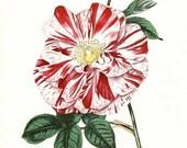PRINT SALE 20% OFF Vintage 1960's Rosa gallica Botanical, Floral Bookplate Print for Framing, Multi Color Rose Flower