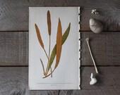 Antique Botanical Print, Woodland Plants, Fern Print, Chromolithograph Book Plate, Acrostichum Cuspidatum, Vintage Lithographs