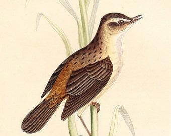 Original Sedge Warbler Print . antique bird plate woodblock . dated 1853