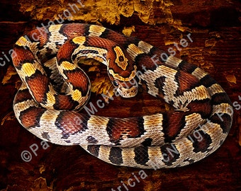 """NaDread The Corn Snake 10"""" x 10"""" Downloadable Image"""