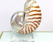 Beach Decor - Natural Nautilus Shell Trimmed with Silver on a Lucite Base - Coastal/seashell/sea shell