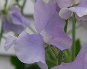 Sweet Pea, Lavender de Provence Sweet Pea Seeds | Delicate Lavender  Flowers  Excellent Cut Flower Highly Fragrant lathyrus odoratus