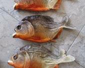 Set of 5 Large Red Belly Piranha Specimens - SHIP FREE