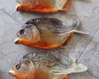 Set of 5 Large Red Belly Piranha Specimens - SHIP FREE