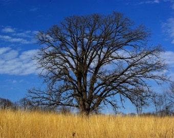 Prairie oak gallery-wrapped canvas print, spring nature photograph, savanna, native grass, blue sky, home decor, wall art print