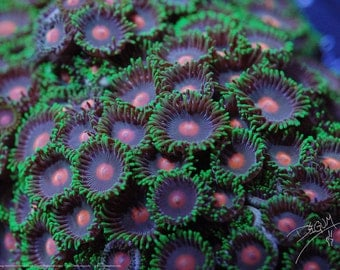 Orange Spot-Green Fringe Purple Zoanthids - Zoanthus sppPoster