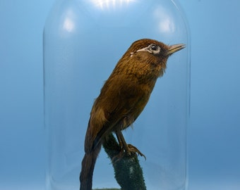 real birds taxidermy of Garrulax canorus  mounted with base,cool gift,free shipping