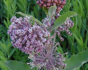 Milkweed Pods, Monarch Butterfly Food Source, Hunting, Crafting, Weddings