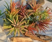 Air Plant ~ Mexican Air Plant ~ Plant only ~ Tillandsia Ionantha ~ Not always in Bloom ~ Can be all green at times