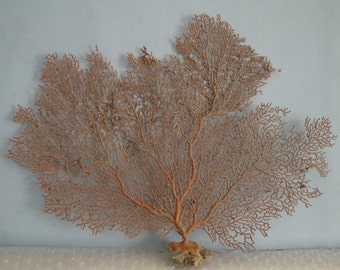 "13"" x 10.2"" Pacifigorgia Red  Sea Fan Seashells Reef Coral"