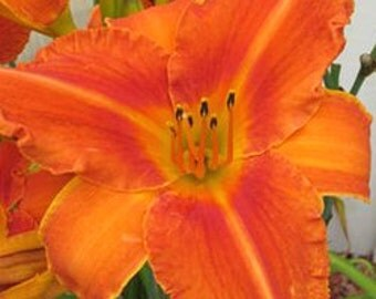 Daylily, Fire King. flowering plant, live plant, more plants in my shop at, www.etsy.com/shop/ThePlantBoutique