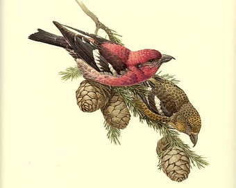 WHITE-WINGED CROSSBILL - Vintage J. F. Lansdowne Book Plate 54  'Birds of the Northern Forest'