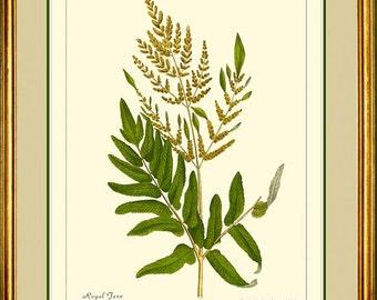 Botanical print reproduction - Royal Fern  509