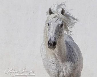 The White Stallion Runs Up - Fine Art Horse Photograph - Horse - Lusitano - Fine Art Print