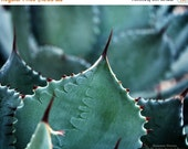 65% OFF Southwest Home Decor Photograph- Spired Succulents - Succulent Green Desert Black Sharp Pointed Cactus - 8x10 Fine Art Photo Print