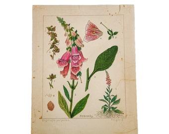 Foxglove Botanical Watercolor R.H. Greeley