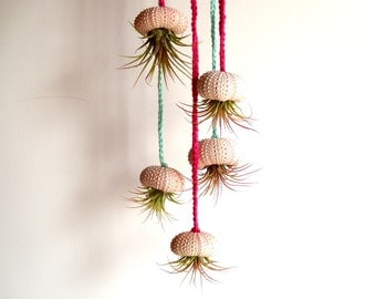 Air Plant in a Pink Sea Urchin