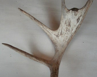 Beautiful moose antler shed design decor crafts art centerpiece gift rustic natural antler display taxidermy