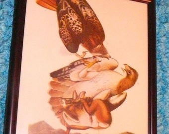 Audubon Print Framed Red Tailed Hawk Animal Study Plate 1900s Rabbit Macabre Nature