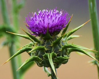 Spiky and beautiful. The thistle is a beautiful flower.
