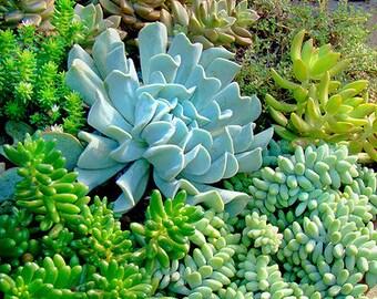 15 Succulents, Large Terrarium Supplies, Succulent Mix, Succulents, Table Terrarium, Succulent Supplies, Organic