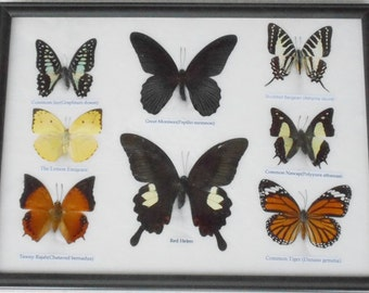 REAL 8 BEAUTIFUL  BUTTERFLY Collection in Frame / BF20v