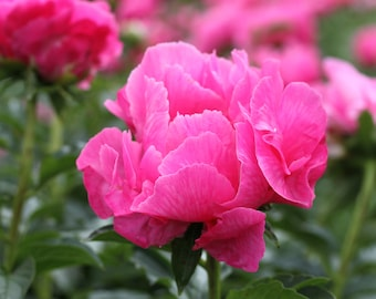 The Graceful Peony #12 - Lovely Rose