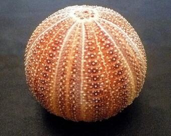 "English Channel Sea Urchin 4 - 4.5"" beach decor ocean theme wedding shells sealife"