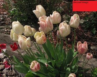 Spring 2016 Tulips