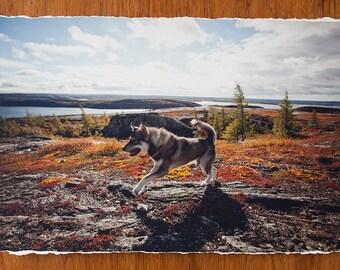 Jumping Husky Dog 12.5x19 inch giclee fine art photography print with torn edge
