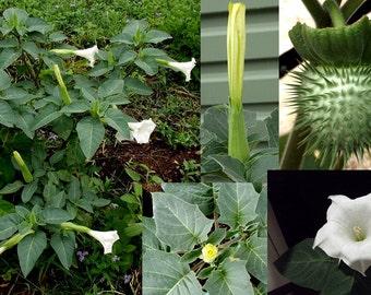 Moon Plant, Devils Trumpet, Datura 100+ seeds