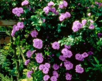Climbing purple roses,383, Red rose,roses seeds,planting roses,growing roses from seeds