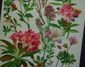 1913 old botanical print - lovely original antique floral illustration - vintage pictures of heather erica plant alpine rose flowers flora