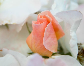 Photograph of Pink Rose Bud Surrounded by White Rose Petals - Print of Flowers - Green - Garden - Botanicals - Wall Art - Photo